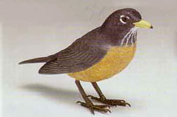 Electronic animated american robin bird.