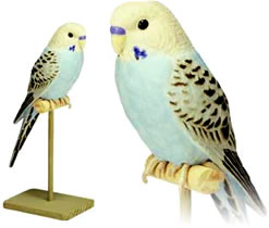 Blue parakeet singing bird.