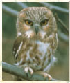 Northern Saw Whet owl.