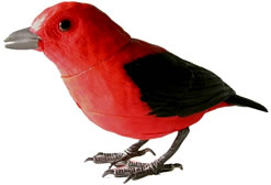 Scarlet tanager animated bird.
